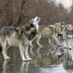 Development Wolf Pack